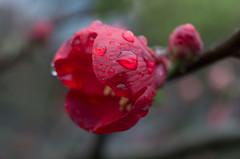Rain (Rense Haveman) Tags: fsulens lenzen mir1b pentaxk5 pentaxforumscom rensehaveman singleinmarch2019 sovietlens extensiontubes flower garden manualfocus spring rain red bud chaenomeles