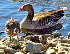Greylag Goose and Godwit (olwynam1) Tags: greylaggoose goose bird godwit water rock nature wildlife martinmere