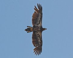 Immature Bald Eagle (Goggla) Tags: florida baldeagle bird wildlife bald eagle raptor immature