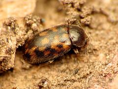 Polypore Fungus Beetle (treegrow) Tags: rockcreekpark washingtondc nature lifeonearth raynoxdcr250 arthropoda tetratomatessellata tetratomidae beetle insect coleoptera