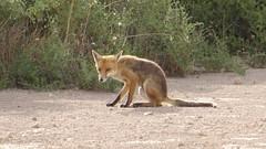 0331 Fuchs nah - fox near;  Streaky Bay (roving_spirits) Tags: australia australien australie southaustralia eyrepeninsula