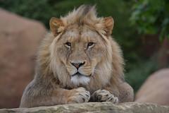 Atlas @ Zoo de Beauval 14-05-2018 (Maxime de Boer (2)) Tags: atlas african lion afrikaanse leeuw panthera leo big cats katachtigen zoo parc de beauval saintaignan france animals dieren dierentuin gods creation schepping