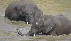 Swimming Lessons  ( elephants /  olifante ) (Pixi2011) Tags: elephants wildlife krugernationalpark southafrica africa animals
