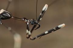 Ghilianella sp. (Reduviidae) (Scrubmuncher) Tags: reduviidae ghilianella assassinbug hemiptera insect macro costarica osapeninsula