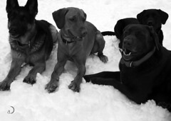The Foursome: Litchi, Red, Satch and William (bd168) Tags: chiens labrador bergerallemand germanshepherd rapporteurs chiendeberger chiendeprotection chiensdedétection watchdog blackandwhite blancetnoir neige snow winter hiver happy joyeux chocolat noir jaune em10markii m 1240mmf28pro retrievers detection dogs chocolate black yellow