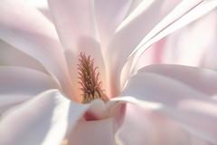 annonce de printemps (christophe.laigle) Tags: rose christophelaigle fleur macro pink flower magnolia fuji xpro2 xf60mm nature coth coth5