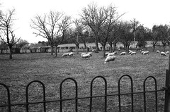 Counting sheep (martin.bruntnell) Tags: sheep counting canonftb