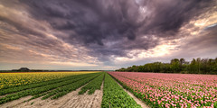 The harvest of beauty has angered the clouds. (Alex-de-Haas) Tags: 11mm adobe blackstone d850 dutch hdr holland irix irix11mm irixblackstone lightroom nederland nederlands netherlands nikon nikond850 noordholland photomatix photomatixpro beautiful beauty bloem bloemen bloementeelt bloemenvelden cloud clouds cloudscape drama dramatic floriculture flower flowerfields flowers landscape landschaft landschap lente lucht mooi nature natuur polder skies sky skyscape spectaculair spectacular spring sun sundown sunset tulip tulips tulp tulpen wolk wolken zonsondergang