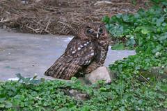 The eyes of the owl (supersky77) Tags: entebbe zoo uganda africa bird uccello birding birdwatching owl