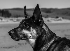 The Puppalo, dos (ade1201) Tags: dogs mutt rescue limantour beach outside blackandwhite animal photography