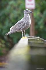 Gull (JSB PHOTOGRAPHS) Tags: jsb6641 2 bird gull altonbakerpark eugeneoregon nikon d600 80400mm bokehlicious bokeh