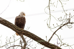 What the Heck is Going on.... (114berg) Tags: 01jan19 bald eagles sunset park mississippi river rock island illinois