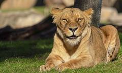 Leona (Fotgrafo-robby25) Tags: bioparc fauna mamíferos sonyilce7rm3