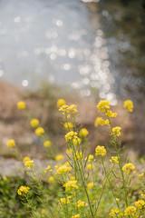 20190326A73_6322 (Gansan00) Tags: lce7m3 α7ⅲ sony zeiss japan 山口県 yamaguchi 日本 landscape snaps ブラリ旅 3月 錦町 菜の花