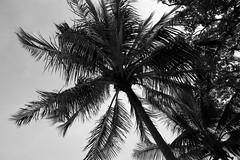 Coconut tree (troisquelquechose) Tags: 白黒 white black noir blanc モノクロ coconut tree summer beach plage été 夏 砂浜 ココナッツ 木 ビーチ cocotier arbre