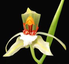 2019-03-06 Coelogyne rumphii - BG Teplice (beranekp) Tags: czech teplice teplitz botanik botany botanic herbarium herbary herbář garden garten flora flower plant orchidea coelogyne