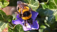 Hummel auf lila Blüte (Chridage) Tags: bumblebee hummel lila blüte blume efeu ivy purple blossom