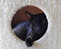Sleepy Head (annette.allor) Tags: black cat kakashi