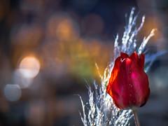 One of the First (Of Light & Lenses) Tags: mamiya64535150mm tulips flower bokeh artisticbokeh vintagelens x1d hasselblad digitalmediumformat