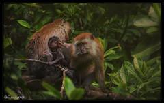 Bonding Time (VERODAR) Tags: monkey monkeys primate monkeyfamily jungle forset morning morninglight grooming nikon nature nationalpark natureandwildlife wildlife mangroveforest verodar veronicasridar ngc