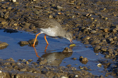 K32P9648c Redshank, RSPB Titchwell, November 2018 (bobchappell55) Tags: titchwell norfolk wild bird wildlife nature redshank wader tringatotanus rspb feeding marsh