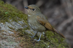 Rufous-bellied niltava (Niltava sundara) (My Shutter World) Tags: birds birdphotography bird nature naturephotography nationalgeographic