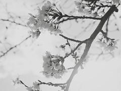 (Jon-Fū, the写真machine) Tags: jonfu olympus omd em5markii em5ii em5mkii em5mk2 em5mark2 オリンパス mirrorless mirrorlesscamera microfourthirds micro43 m43 mft μft マイクロフォーサーズ ミラーレス polarr japan 日本 nihon nippon ジャパン ジパング japón जापान japão xapón asia アジア asian orient oriental aichi 愛知 愛知県 chubu chuubu 中部 中部地方 nagoya 名古屋 blackandwhite bw bnw monochrome monochromatic grayscale greyscale colorless モノクロ モノクローム 白黒 黒白 outdoors 野外 nature 自然 plant plants 植物 flora flower flowers 花 お花 華 sakura cherryblossoms cherryblossom さくら 桜 hanami 花見
