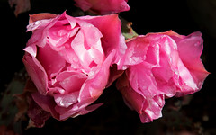 Pink Beavertail Cactus Flowers (ksblack99) Tags: beavertail cactus boycethompsonarboretum superior arizona flower pink