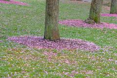 Over for this year. (Omygodtom) Tags: season scene scenery cherryblossom tree park nikon70300mmvrlens d7100 digital diamond spring outside usgs