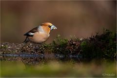 Hawfinch (Gertj123) Tags: animal avian lemelerberg netherlands nature wildlife water spring canon male bird bokeh ornithology birdwatching