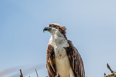 Osprey (Quincy the Matchmaker) Tags: osprey sanibelislandflorida dingdarlingnwr