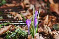 Flower Bokeh - 17. März 2019 - Schmalensee - Schleswig-Holstein - Deutschland (torstenbehrens) Tags: canon eos 40d flower bokeh 17 märz 2019 schmalensee schleswigholstein deutschland