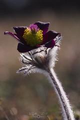 Pulsatilla pratensis subsp. nigricans (Kapi Zoli) Tags: pulsatilla pratensis subsp nigricans fekete kökörcsin virág flower nature természet