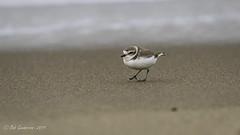 Snowy Plover (Bob Gunderson) Tags: birds california charadriusalexandrinus crissyfield northerncalifornia plovers presidio sanfrancisco shorebirds snowyplover