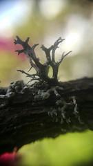Moss (Steve lunn) Tags: macrolens closeup moss