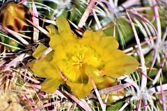 Cactus flower (thomasgorman1) Tags: stickers flower cactus succulent thorns desert nature closeup macro nikon mx baja mexico