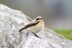 Wheatear Male 1st year (Georgiegirl2015) Tags: wheatear wildlife wales dellalackwildlifephotography birds bbcwalesnature canon coastal cardiff ef300mm 7dmkii march2019 spring2019 water rocks migration avian