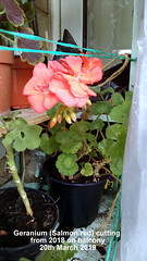 Geranium (Salmon red) cutting from 2018 on balcony 20th March 2019 (D@viD_2.011) Tags: geranium salmon red cutting from 2018 balcony 20th march 2019
