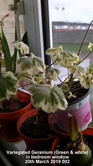 Variegated Geranium (Green & white) in bedroom window 20th March 2019 002 (D@viD_2.011) Tags: variegated geranium green white bedroom window 20th march 2019