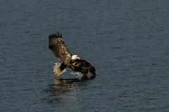 Winging It (Beve Brown-Clark) Tags: baldeagle bird birdofprey birds kokaneesalmon salmon nature wildlife winter ©bevebrownclark