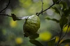 Under the lemon tree (JuanitaDesastre) Tags: lemon green yellow blur bokeh