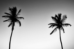 Up To The Sky (Giancarlo Lalsingh) Tags: none travel travelphotography travelphoto place places caribbean island islands islandlife trinidadandtobago trinidad beach beaches maracasbeach blackandwhite blackwhitephotography blackandwhitephoto monochrome bnw abstract abstractphotography abstractphoto minimalist minimalism nature naturephotography naturephoto naturallight beachlife trees coconut palm plants sony sonyalpha flickr flickrphotographer photography photographer
