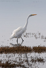 Great Egret - Morro Bay State Marine Reserve  (2019) (David L. Hoffman) Tags: greategret avian wadingbird morrobay winter