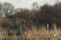 buzzard (Johnson Cameraface) Tags: 2019 january winter olympus omde1 em1 micro43 jupiter11 135mm m39 f4 manualfocus johnsoncameraface buzzard magpie lowellersfarm doncaster doncasterlakeside