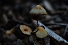Mushrooms (Macro) (Jocarlo) Tags: flickrclickx flickraward flickrstruereflection1 flickrphotowalk flickr fotografía fotografias fotos seta setas setes hongos hongo mushrooms mushroom mushies mushie makro makros macro macros macrophotographers macrofotografía macrofotografie macrography macrophotography macrophotografer photomacrography ilce pilze pilce fungus fungi funghi fungí sonya7 sony a7 fe90mm melilla afotando crazygeniuses crazygenius creative creativa creativeartphotography guys bosque parques parque jocarlo ngc nature natura natur naturaleza photography micologia micología mycology