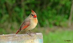Taking a Break (Suzanham) Tags: cardinal bird plank female songbird nature wildlife mississippi board