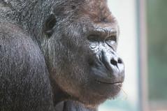 Male Gorilla Portrait (Jim Nicholson) Tags: gorilla nikon d300 nikond300 netherlands nl holland amsterdam