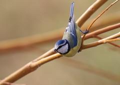 Mésange bleue (Michel Idre - 8 millions de vues merci) Tags: oiseau bird aves ariège mésange bleue