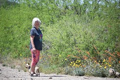 FlowerDrive (ONE/MILLION) Tags: vacation travel tours visit arizona outdoors spring springtime seasons desert wild wildflowers colorful wildlife cattle cactus saguaro mountains williestark onemillion blue sky weather clouds parks hike roads drive daytrip backroad