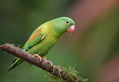 Orange-chinned Parakeet (anacm.silva) Tags: orangechinnedparakeet parakeet ave bird periquito wild wildlife nature natureza naturaleza birds aves brotogerisjugularis coth5 ngc